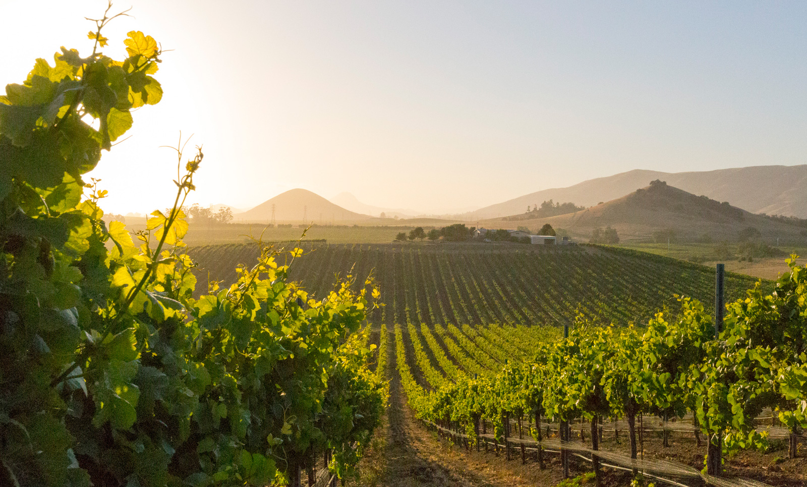 Vineyard at dawn, showing vines in the morning light with hills in the background