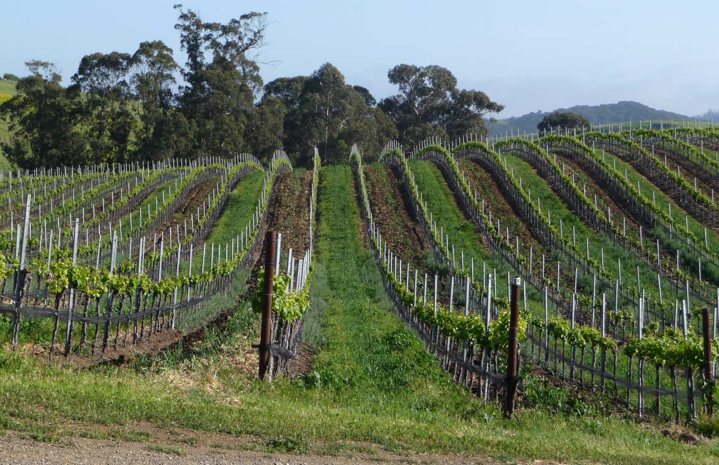 a rolling hill covered in grape vines at Wolff Vineyards