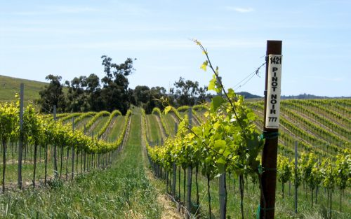 Rows of Pinot Noir grape vines on a rolling hill