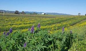 Wild mustard and lupine in the vineyard, showing rows of bare vines with mustard and lupine in bloom