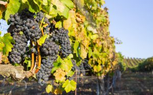 Red wine grapes ready for harvest, showing beautiful red wine grapes on the vine